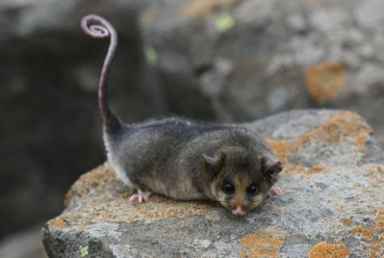 Mountain Possum
