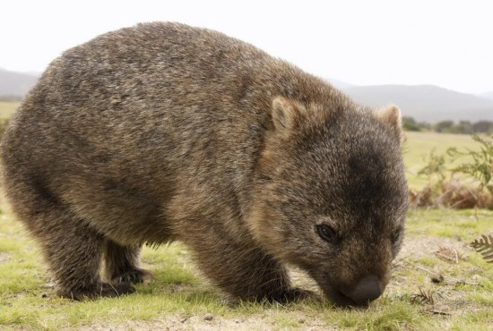 Magical Mountains Willy Wombat